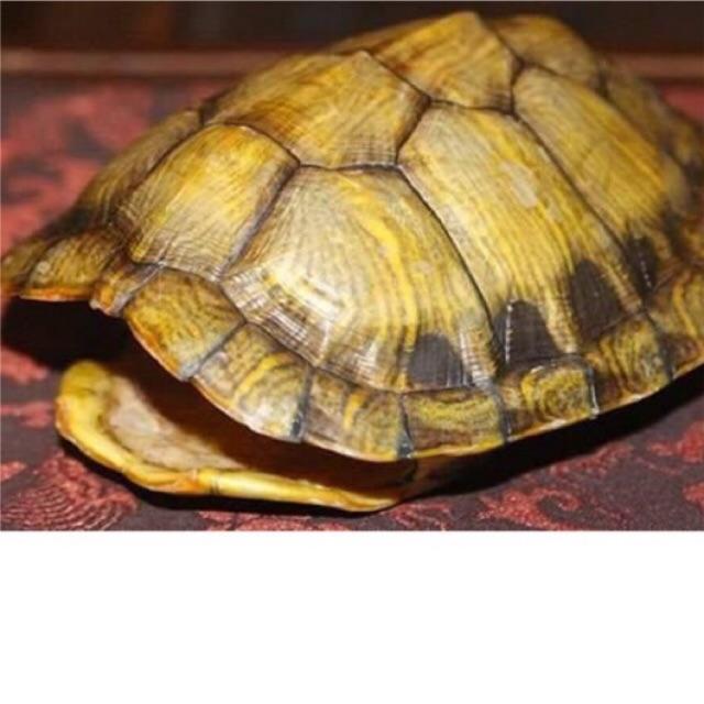 Mai rùa tự nhiên- nhiều kích thước