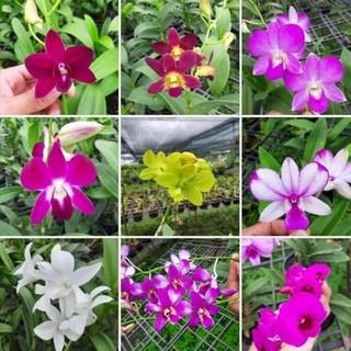 (Mới) Hoa lan denro nhiều màu giá lẻ như sỉ