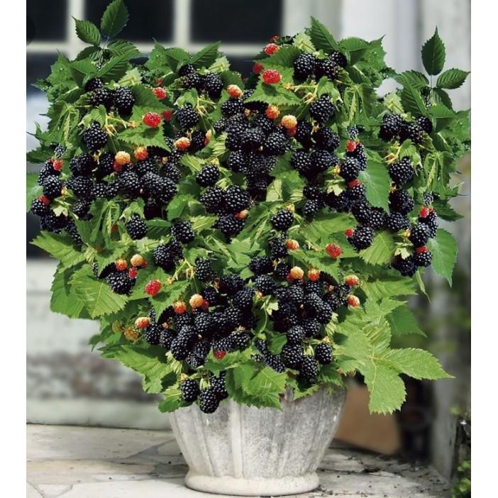 Cây phúc bồn tử (cây mâm xôi) 2 màu đỏ và đen tùy chọn | Shopee Việt Nam