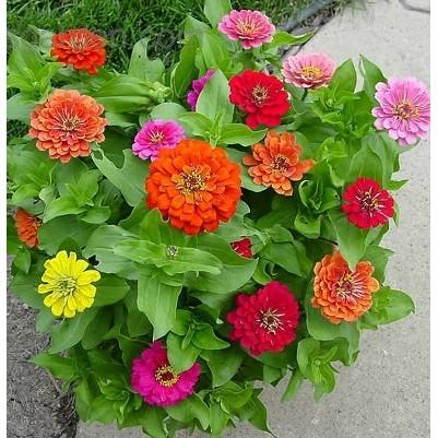 COMBO 09 LOẠI Hạt giống hoa CÚC CHẬU ĐẸP trồng chơi tết - 2594600 , 59121140 , 322_59121140 , 192000 , COMBO-09-LOAI-Hat-giong-hoa-CUC-CHAU-DEP-trong-choi-tet-322_59121140 , shopee.vn , COMBO 09 LOẠI Hạt giống hoa CÚC CHẬU ĐẸP trồng chơi tết