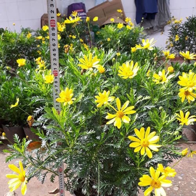 Cây giống hoa cúc vạn niên( cúc thân gỗ)
