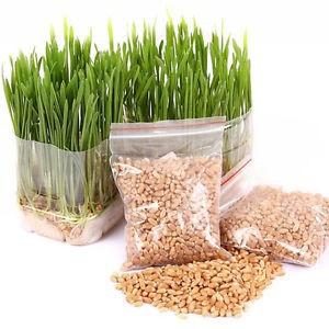 [FREESHIP 99K TOÀN QUỐC] Hạt giống cỏ mèo, cỏ lúa mì cho thú cưng (thỏ, chó, nhím...) 50 gram