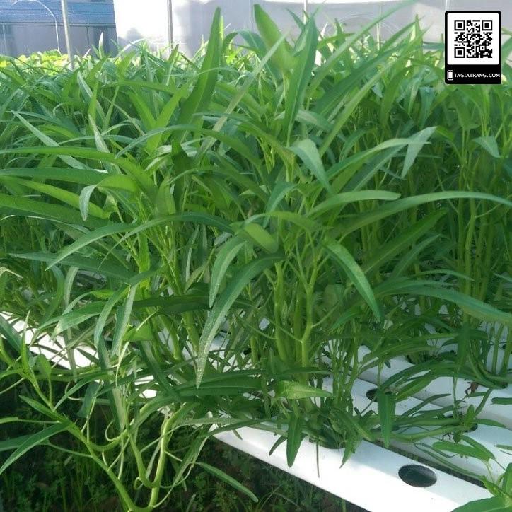 Hạt giống rau muống Thái Lan - Gói 50g (1500 hạt)