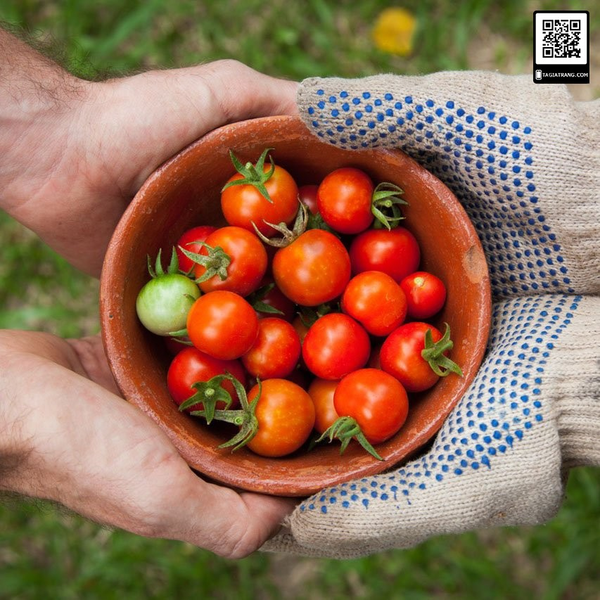 Hạt giống cà chua bạch tuộc - cà chua leo giàn