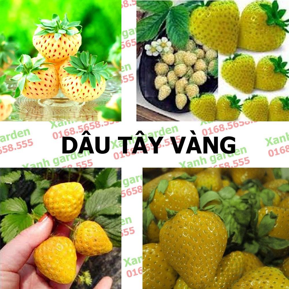 Hạt giống Dâu tây vàng - 2776132 , 248070953 , 322_248070953 , 45000 , Hat-giong-Dau-tay-vang-322_248070953 , shopee.vn , Hạt giống Dâu tây vàng
