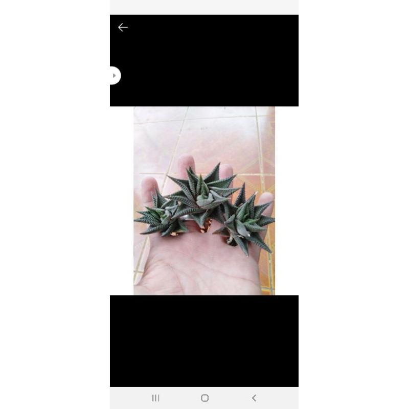 Mô Hình Nhân Vật Haworthia Limifolia