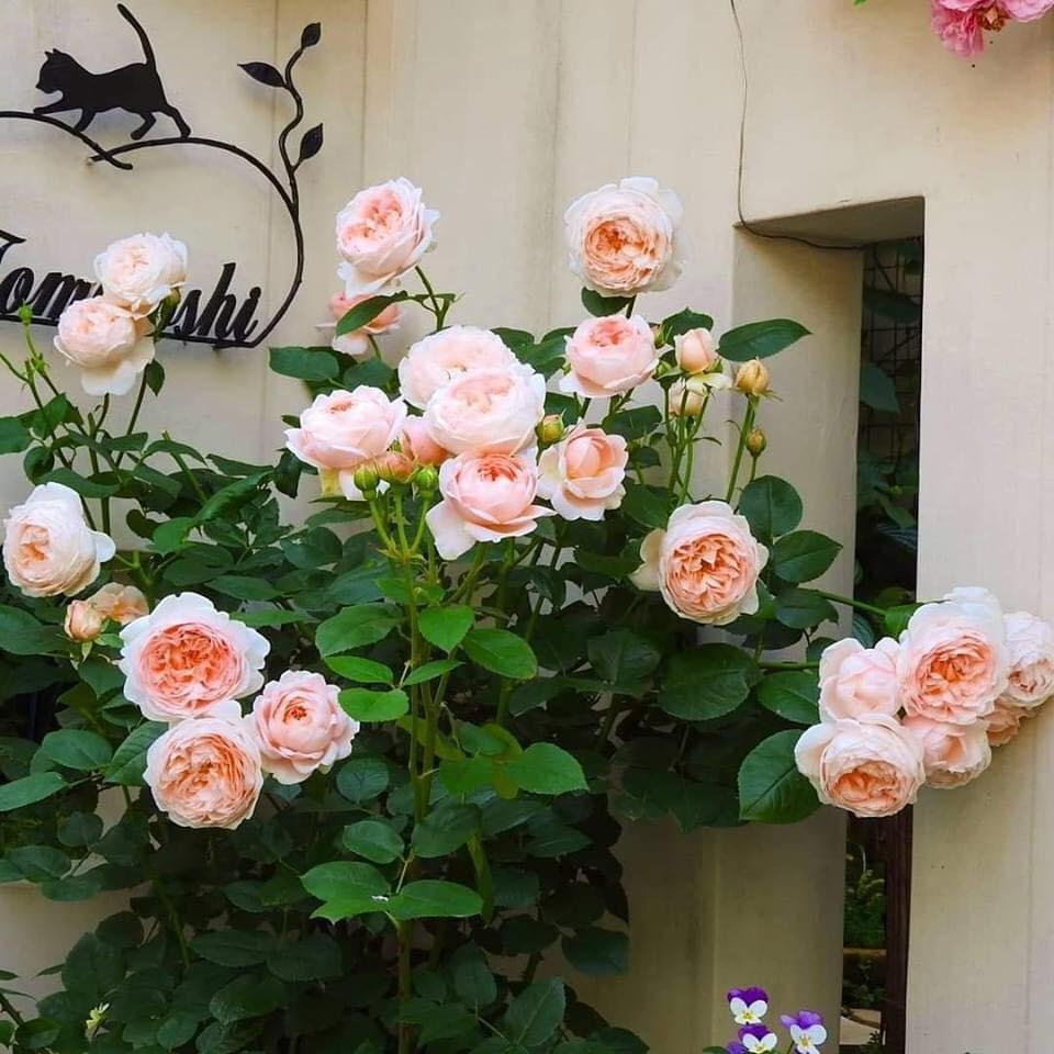 Hoa hồng leo Pháp đang mầm - tặng phân bón