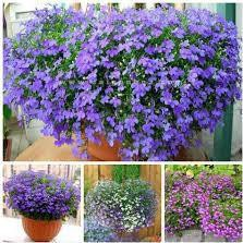 Hạt giống hoa Cúc Lobelia Nhiều màu
