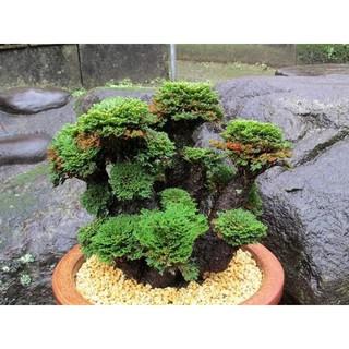 Cây bonsai mini (cây thật) 1 cây