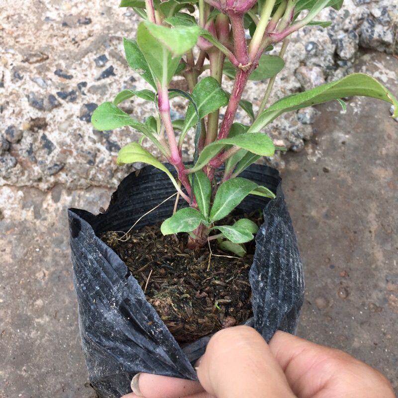 Cây hoa cúc bách nhật trồng bịch đen thích hợp trang trí ban công ,sân vườn (Như Hình)