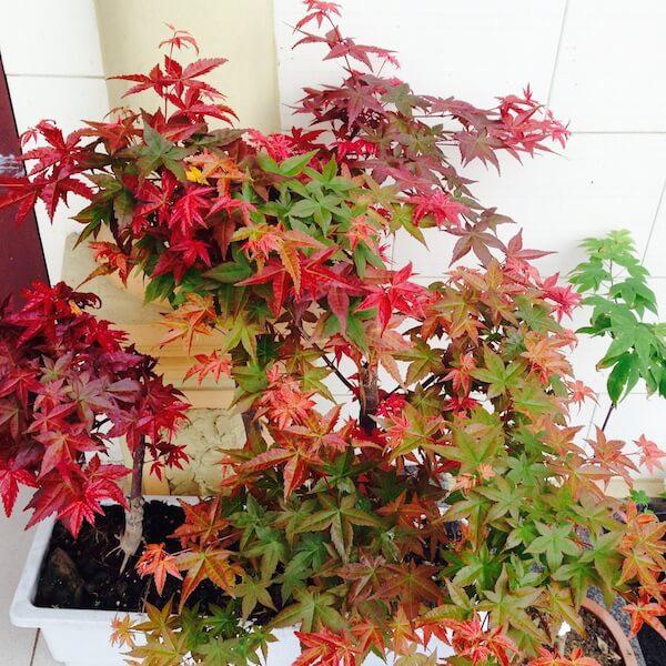 COMBO 2 gói hạt giống cây phong lá đỏ Tặng 1 phân bón - 21728156 , 1315585702 , 322_1315585702 , 69000 , COMBO-2-goi-hat-giong-cay-phong-la-do-Tang-1-phan-bon-322_1315585702 , shopee.vn , COMBO 2 gói hạt giống cây phong lá đỏ Tặng 1 phân bón