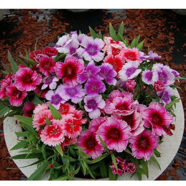 Hạt giống hoa cẩm chướng đơn mix nhiều màu - 3465032 , 796878707 , 322_796878707 , 35000 , Hat-giong-hoa-cam-chuong-don-mix-nhieu-mau-322_796878707 , shopee.vn , Hạt giống hoa cẩm chướng đơn mix nhiều màu