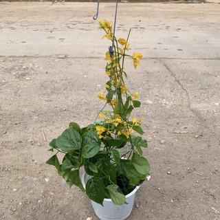 [CHẬU HOA TREO] Cây lan hoàng dương trồng chậu treo rủ và leo giàn, thích hợp trang trí sân vườn, ban công và leo giàn