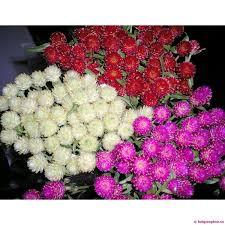Gói 0.5g hạt giống hoa cúc nút áo (cúc bách nhật)