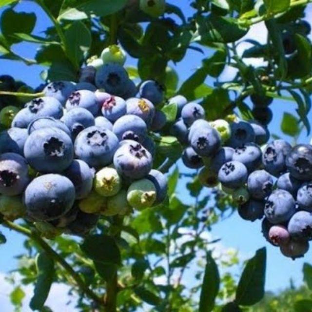 CÂY VIỆT QUẤT TỨ QUÝ (BLUEBERRY) đang có nhiều quả.