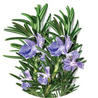 Tinh dầu Hương thảo Rosemary AROMA, tinh dầu thơm phòng, nguyên chất tự nhiên 2