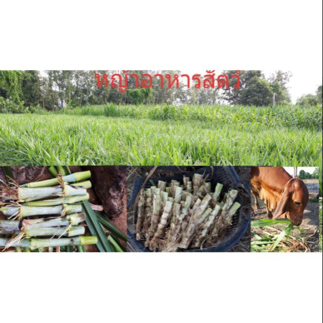 พันธุ์หญ้าอาหารสัตว์ (เนเปียร์ปากช่อง50ท่อน+หวานอิสราเอล50ท่อน)