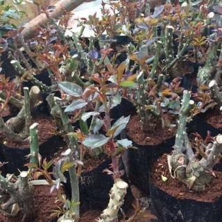 COMBO 5 cây giống hoa hồng ngoại gốc đại, giá siêu rẻ