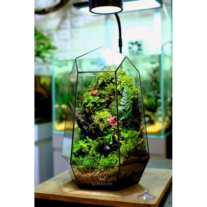 Dứa tiểu phụng mini set bình terrarium, gắn lũa, đá hồ bán cạn ( 1 cây )