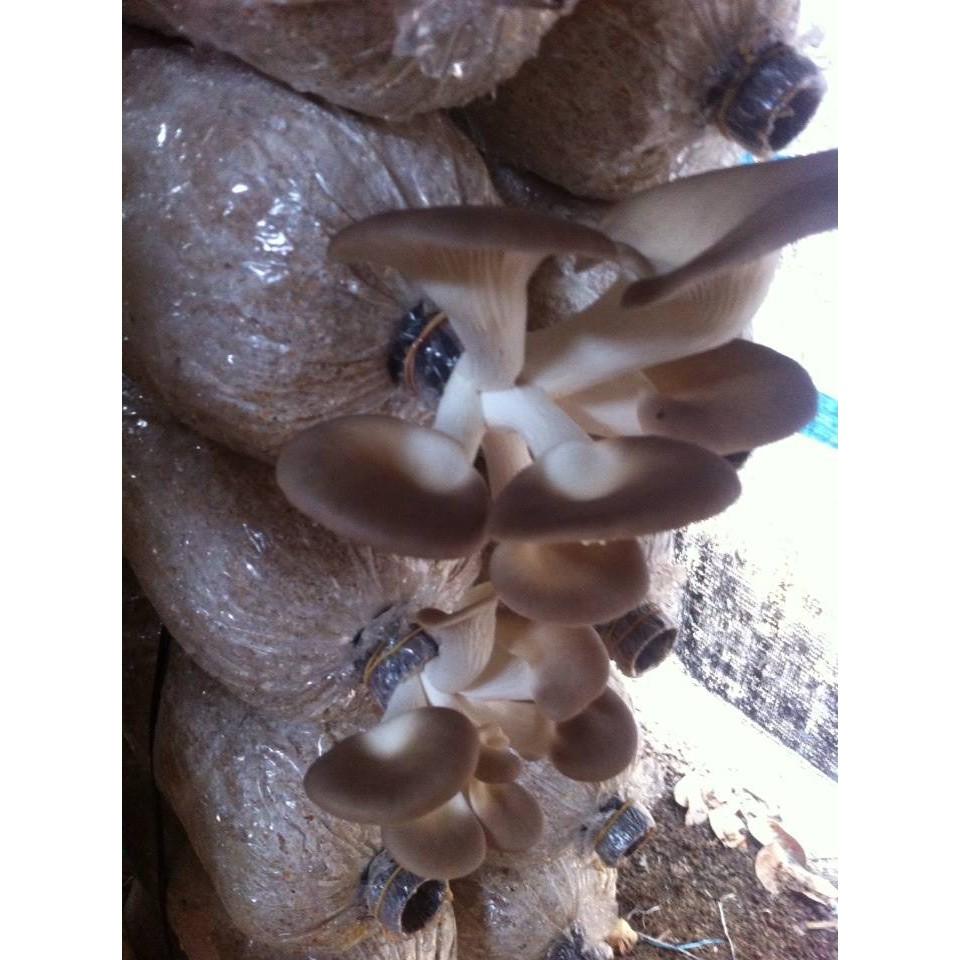 [Sỉ nấm] Phôi nấm bào ngư xám ( 1.1 - 1.2 kg/phôi) - tỉ lệ ra nấm trên 90%