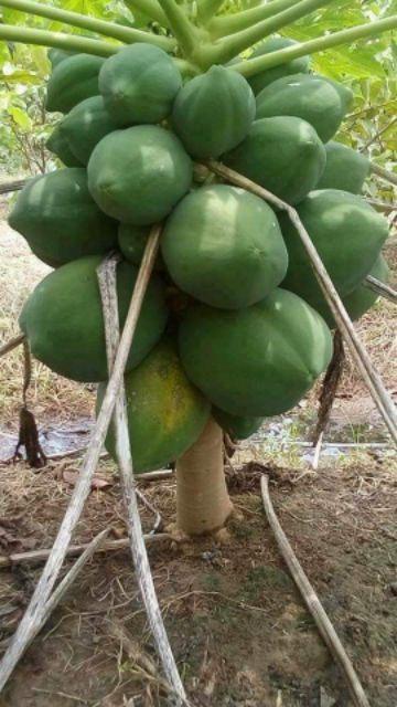 1 gói hạt giống đu đủ lùn siêu trái