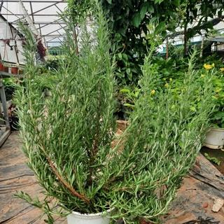 Cây hương thảo rosemary từ vườn hoa LAFAGARDEN 1 cây cao từ 35cm đến 45cm có nhiều cành nhánh khỏe