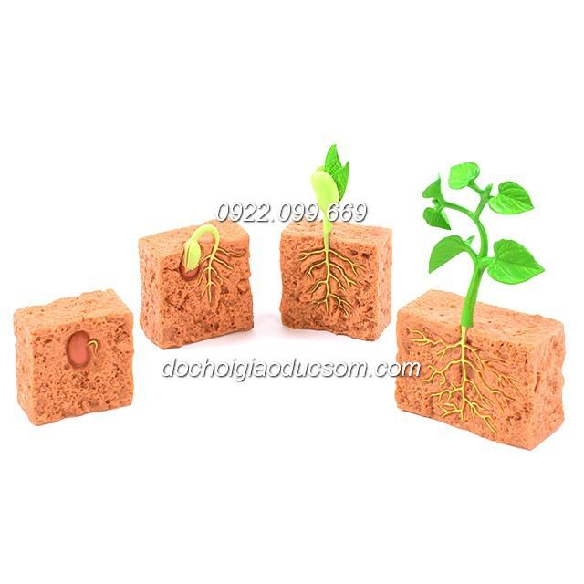 Mô hình Vòng đời phát triển của cây đậu - quá trình lớn lên của cây đậu