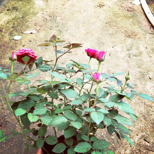 Hoa hồng tezza siêu nụ