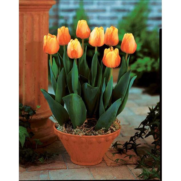 Củ Hoa Tulip Nhiều Màu Chơi Tết ( Nhập Khẩu Hà Lan )