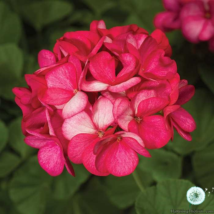5h Hạt Giống Hoa Phong Lữ -Violet (Pelargonium x hortorum)