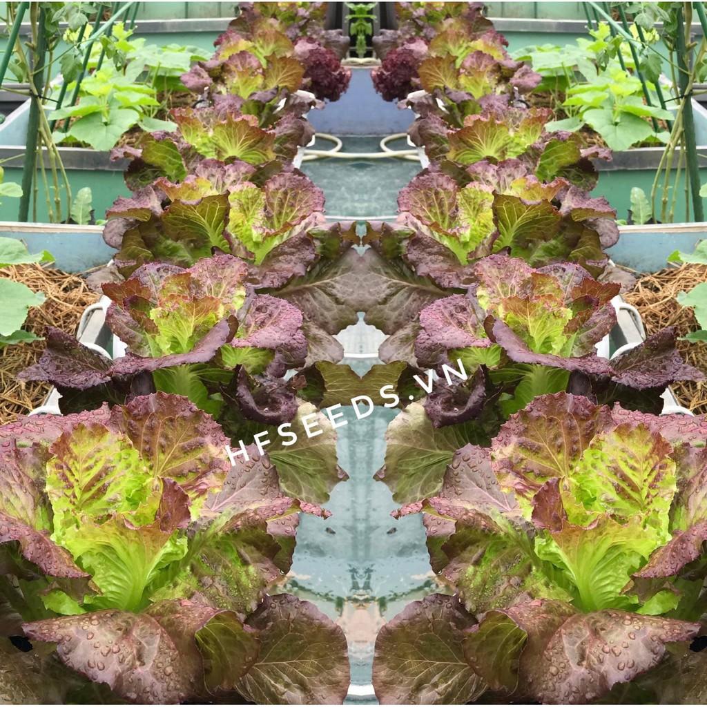 [Hạt giống Mỹ] Hạt giống xà lách tím chịu nhiệt Cherokee - tỷ lệ nảy mầm 90%