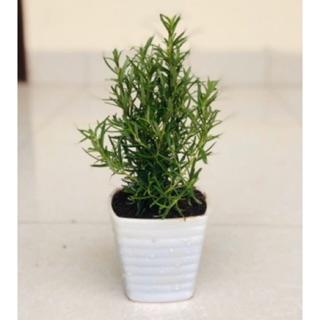 Cây hương thảo – rosemary – cây gia vị với hương thơm dịu nhẹ, vừa đuổi muỗi lại giúp thư giãn