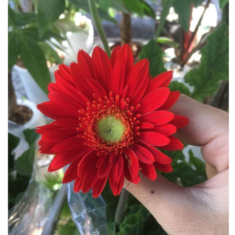 [TRỢ GIÁ] COMBO 5 gói hạt giống hoa đồng tiền kép TẶNG 1 phân bón EEFY1 - 22186776 , 6600138743 , 322_6600138743 , 68263 , TRO-GIA-COMBO-5-goi-hat-giong-hoa-dong-tien-kep-TANG-1-phan-bon-EEFY1-322_6600138743 , shopee.vn , [TRỢ GIÁ] COMBO 5 gói hạt giống hoa đồng tiền kép TẶNG 1 phân bón EEFY1