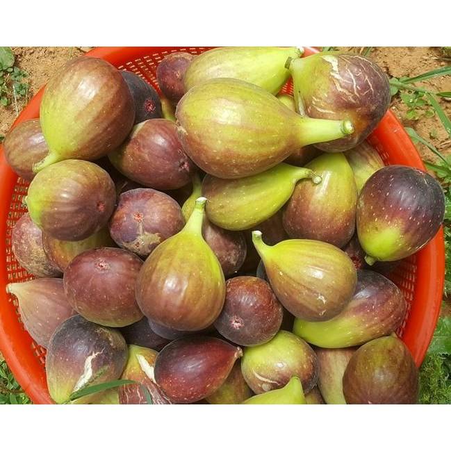 cây giống sung mỹ ( bảo hành 1 tháng ) | Shopee Việt Nam