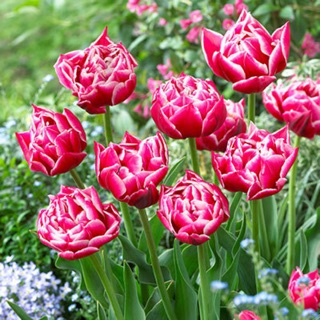 Củ hoa tulip cánh kép săn tết