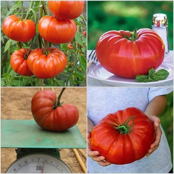 Hạt giống CÀ CHUA KHỔNG LỒ gói 10 hạt tặng 1 phân bón