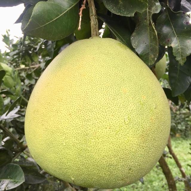 ส้มโอ ขาวใหญ่