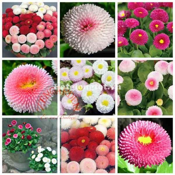 Hạt giống hoa cúc anh mix nhiều màu