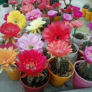 Combo 10 cây xương rồng Lobivia siêng hoa( mix màu hoa