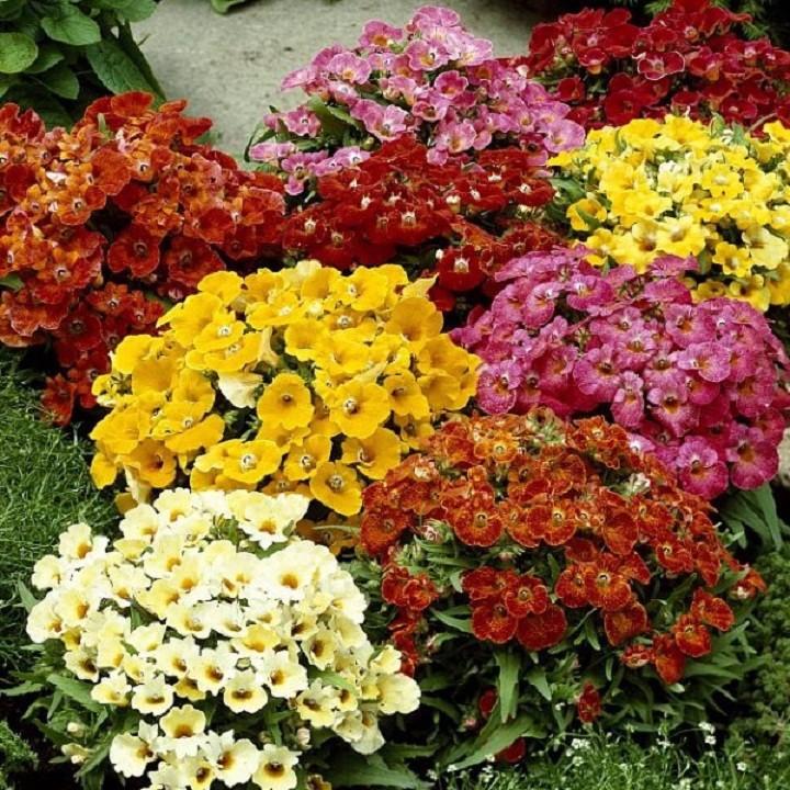 100 Hạt giống hoa Cúc Nemesia Mix nhiều màu ra hoa quanh năm - 22271678 , 1725232458 , 322_1725232458 , 35000 , 100-Hat-giong-hoa-Cuc-Nemesia-Mix-nhieu-mau-ra-hoa-quanh-nam-322_1725232458 , shopee.vn , 100 Hạt giống hoa Cúc Nemesia Mix nhiều màu ra hoa quanh năm