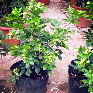 cây nguyệt quế ra hoa quanh năm cao 50-60 cm -Không giao dc 19 tỉnh Miền Nam