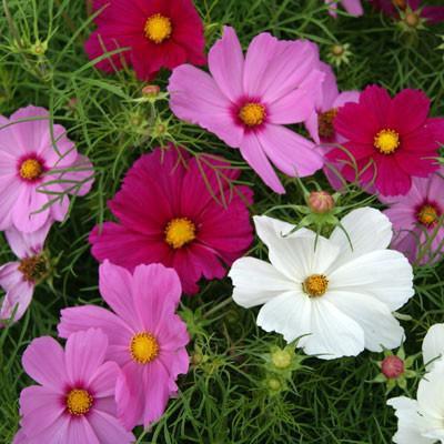 Hạt giống hoa sao nhái mix (cánh bướm) - 3114208 , 773507975 , 322_773507975 , 35000 , Hat-giong-hoa-sao-nhai-mix-canh-buom-322_773507975 , shopee.vn , Hạt giống hoa sao nhái mix (cánh bướm)