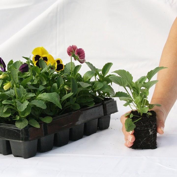 100 Hạt giống hoa Cúc Nemesia Mix nhiều màu ra hoa quanh năm - 14218419 , 1901909002 , 322_1901909002 , 35000 , 100-Hat-giong-hoa-Cuc-Nemesia-Mix-nhieu-mau-ra-hoa-quanh-nam-322_1901909002 , shopee.vn , 100 Hạt giống hoa Cúc Nemesia Mix nhiều màu ra hoa quanh năm