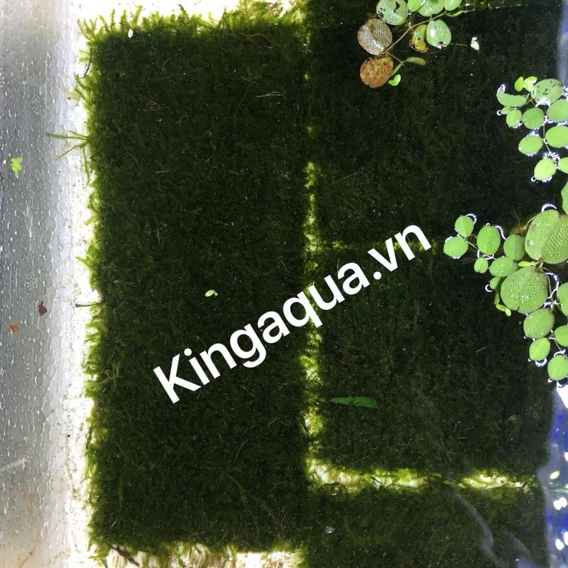 Rêu minitaiwan vỉ lớn (8*20cm)