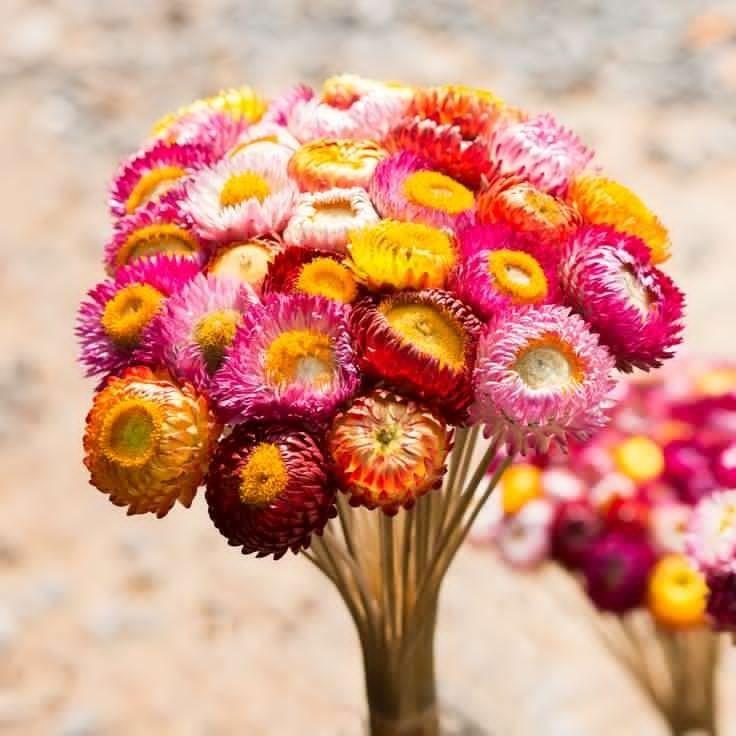 Hạt giống Hoa Bất Tử Nhiều Màu