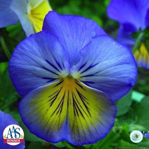 10h Hạt Giống Hoa Păng-Xê - Ultima (Viola x wittrockiana) - 3460594 , 917475625 , 322_917475625 , 24000 , 10h-Hat-Giong-Hoa-Pang-Xe-Ultima-Viola-x-wittrockiana-322_917475625 , shopee.vn , 10h Hạt Giống Hoa Păng-Xê - Ultima (Viola x wittrockiana)