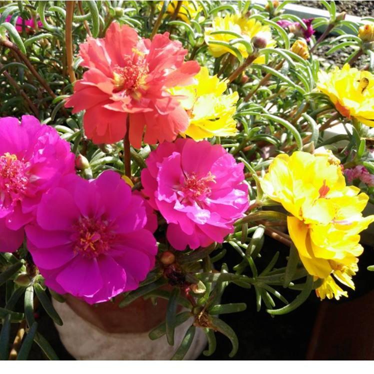 Hạt giống hoa mười giờ MỸ nhiều màu ( gói 30 hạt)