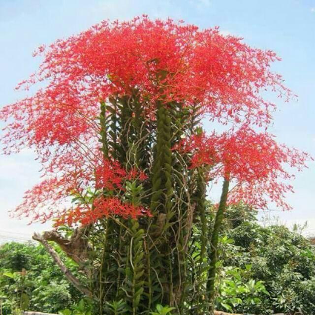 5 cây phong lan huyết nhung dạ vĩ (hoa bền 3-4 tháng) - 2715350 , 1208200948 , 322_1208200948 , 50000 , 5-cay-phong-lan-huyet-nhung-da-vi-hoa-ben-3-4-thang-322_1208200948 , shopee.vn , 5 cây phong lan huyết nhung dạ vĩ (hoa bền 3-4 tháng)