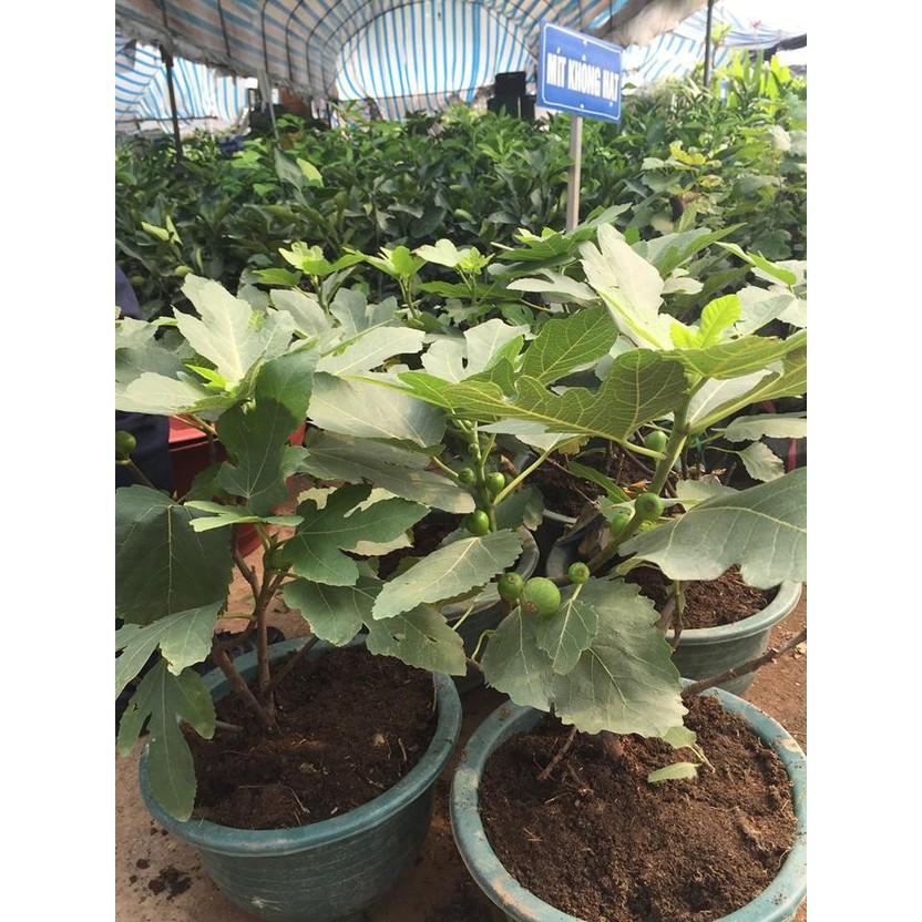 COMBO 5 gói hạt giống cây sung ngọt Mỹ TẶNG 1 phân bón - 2678625 , 1294505322 , 322_1294505322 , 89000 , COMBO-5-goi-hat-giong-cay-sung-ngot-My-TANG-1-phan-bon-322_1294505322 , shopee.vn , COMBO 5 gói hạt giống cây sung ngọt Mỹ TẶNG 1 phân bón