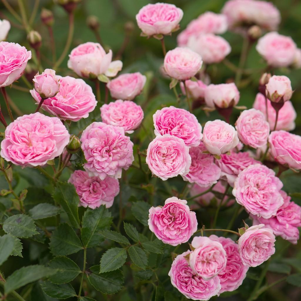 Hạt giống hoa hồng thơm mini mix nhiều màu Hàng Nga